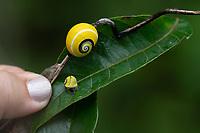 POLMITA Snail, Native to Baracoa, Cuba Cuba 2020 from Santiago to Havana, and in between.  Santiago, Baracoa, Guantanamo, Holguin, Las Tunas, Camaguey, Santi Spiritus, Trinidad, Santa Clara, Cienfuegos, Matanzas, Havana