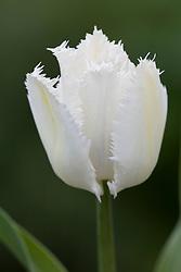 Tulipa 'Swan Wings'