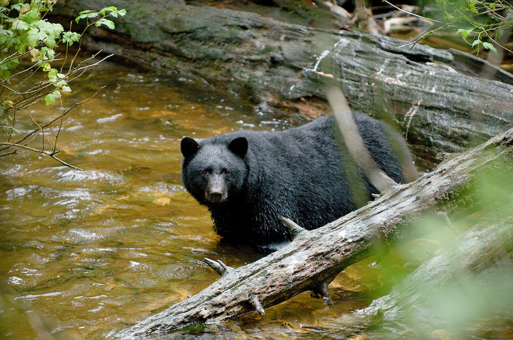 Bear viewing at Alaska Rainforest Sanctuary in Tongass National Forest in south east Alaska outside of Ketchikan, AK.
