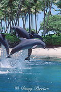 bottlenose dolphins, Tursiops truncatus (c), leaping, <br /> Dolphin Quest, Waikoloa, Hawaii (not to be used to promote anti-captivity campaigns)