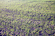 Winter planted cereal crop growing from soil, Shottisham, Suffolk, England