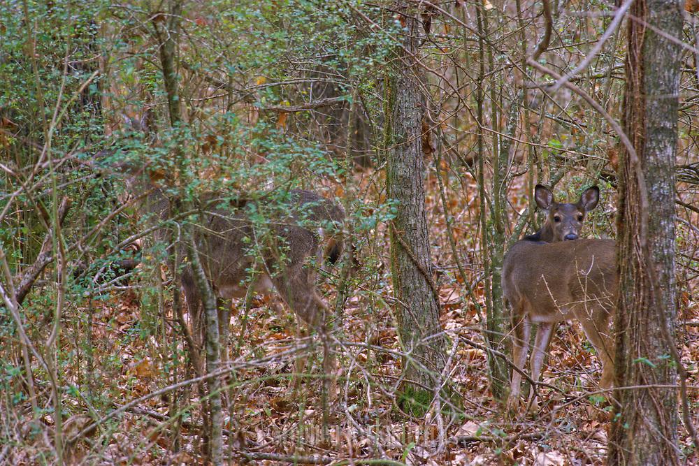 "White-tailed deer ""hidden"" in winter woods - Mississippi"