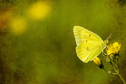 A tiny green butterfly in a adds some brightness to the early morning