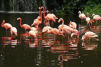 Pink Flamingos at Jurong Birdpark - Jurong BirdPark is a world famous zoo devoted to birds or aviary.  There are specimens of bird life from around the world, including a flock of one thousand flamingos. It is currently the world's largest bird park in terms of number of birds. There are over 8000 birds of 600 species in the Jurong Bird Park many of which are of endangered species that are preserved here.