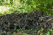 Stumps of old pruned vine stalks in wine region of Bordeaux, France