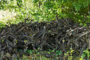 Stumps of old pruned vine stalks in wine region of Bordeaux, France