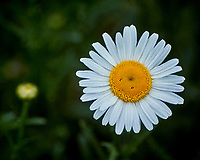Daisy. Image taken with a Nikon 1V3 camera and 70-300 mm VR lens
