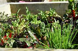 Life in coronavirus lockdown in the UK April 2020. Fresh salad growing in a garden.