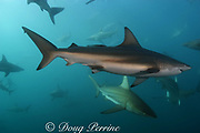bronze whalers, or copper sharks, Carcharhinus brachyurus, and blacktip sharks, Carcharhinus limbatus, swarm outside of a baitball of sardines, waiting for their chance to feed, Transkei, South Africa, ( Indian Ocean )