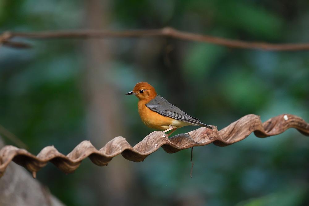 Orange-headed thrush, Geokichla citrina, Tongbiguan Nature Reserve, Dehong, Yunnan, China