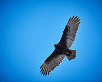 Turkey Vulture soaring. Image taken with a Nikon D3x camera and 400 mm f/2.8 lens (ISO 360, 400 mm, f/4, 1/1000 sec).
