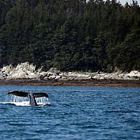 North America, USA, Alaska.  Humpback Whale in the Gastineau Channel.