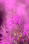 Fireweed is the first thing to pop up in the soil after a wildfire. It can stand between 3-6 feet tall and has a rose, pink or purple color to it. It is found throughout much of Alaska and in temperate forests throughout the northern hemisphere. Although not the Alaska State Flower, it is the most popular flower in Alaska. Fireweed flowers from the bottom up and Alaska Native legends tell the story that when the fireweed reaches the top, summer is over. We can see in this photo that summer is more than halfway over.
