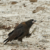 """A Striated Caracara, affectionately known to sailors as a """"Johnny Rook,"""" stalks on a beach on New Island, In Britain's Falkland Islands."""