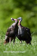00845-07002 Eastern Wild Turkeys (Meleagris gallopavo) jakes in field, Holmes Co., MS