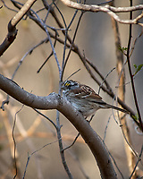 White-throated Sparrow. Image taken with a Nikon D2xs camera and 80-400 mm VR telephoto zoom lens.