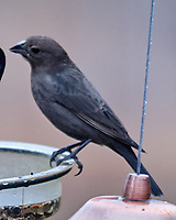 Brown-headed Cowbird (Molothrus ater). Image taken with a Fuji X-H1 camera and 200 mm f/2 lens + 1.4x teleconverter.