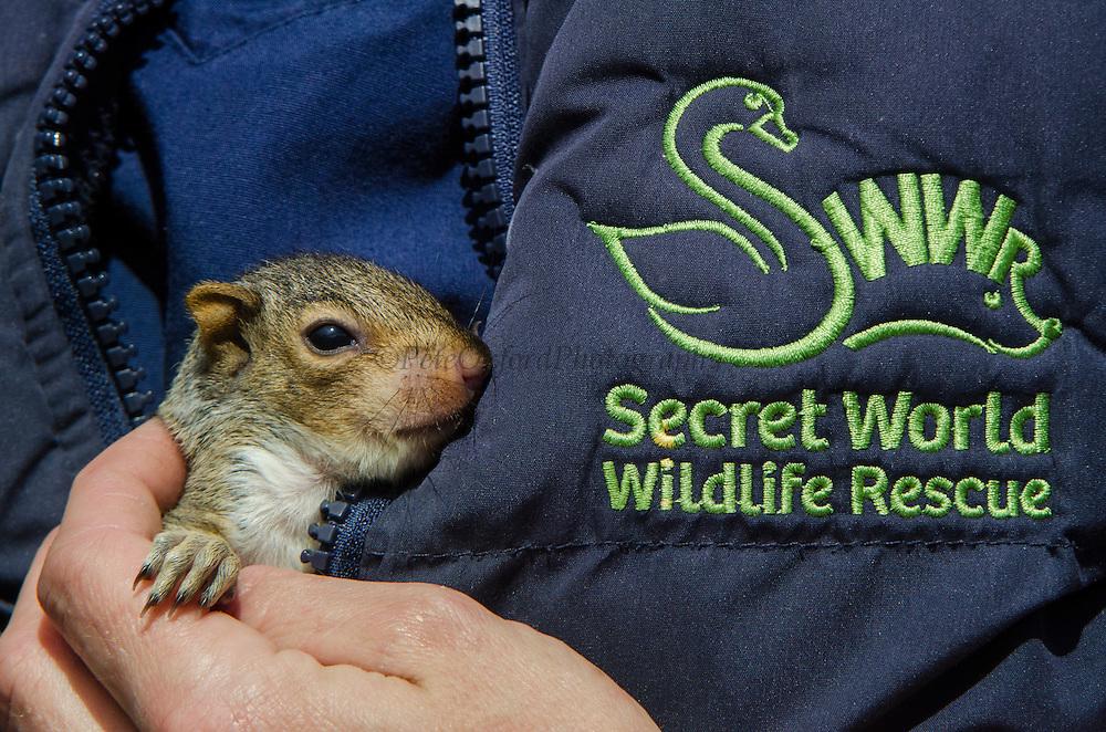 Grey Squirrel (Sciurus carolinensis)<br /> Secret World Wildlife Rescue Center<br /> Somerset<br /> England<br /> UK<br /> captive