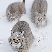Bobcats in the Bridger Mountains of Montana. Captive Animal