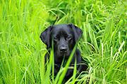 Black Labrador in Green Grass, Montana.