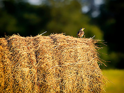 A Meadow Lark Perched on top of a Hay Bale