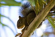Nova Lima_MG, Brasil...Esquilo ( Sciurus Aestuans) no galho de uma arvore comendo coco no condominio Pasargada...A chipmunk ( Sciurus Aestuans) on the branch tree eating coconut at Pasargada condominium...Foto: JOAO MARCOS ROSA / NITRO
