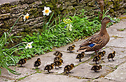 Mallard duck with her twelve ducklings in an English country garden