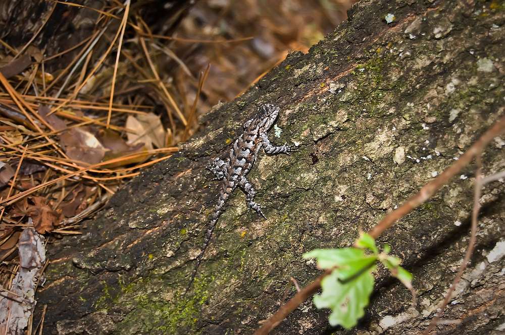 This distant relative to the iguana is very common all over Florida, most commonly found in dry pine or palmetto scrubs, but can be found in any non- damp environment.