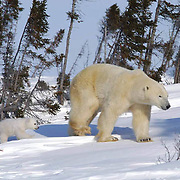 Polar bear mother and cubs traveling towards Hudson Bay passes through a spruce forest in Wapusk National Park. It's early March and the temperatures are -46F, this is the time mother and cubs emerge from the den. Manitoba, Canada