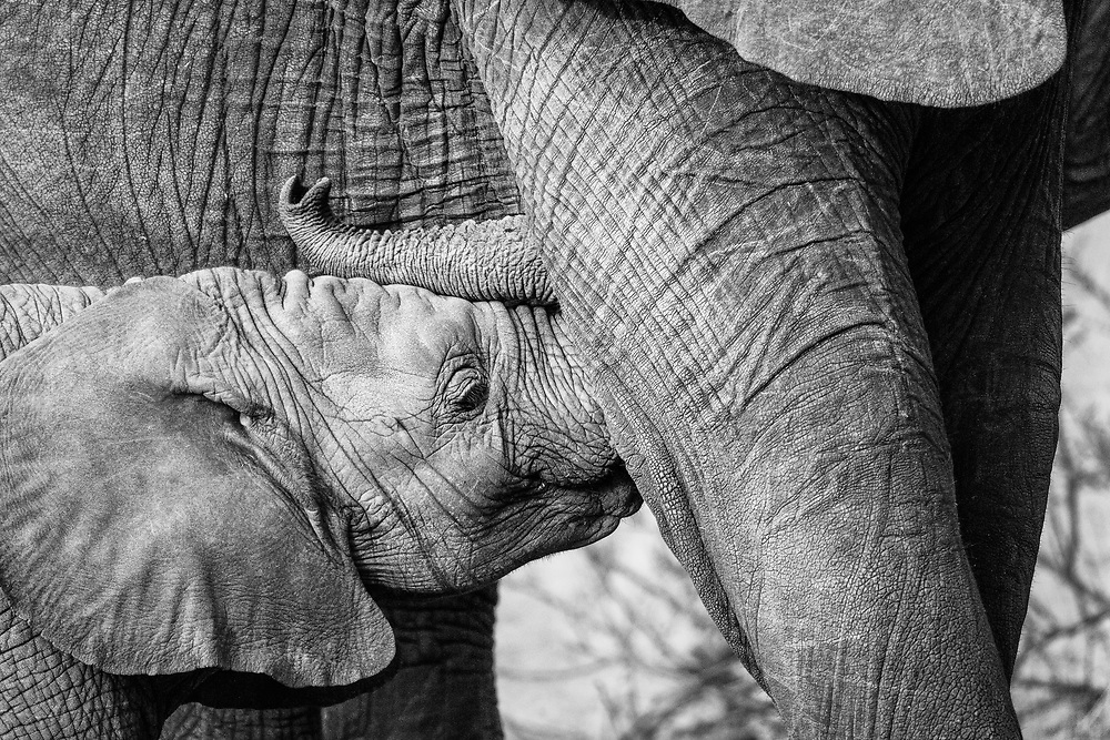 Baby elephant being nursed by mama, Serengeti, Tanzania