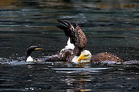 Bald eagle drags common murre to shore in its talons