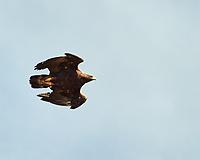 Golden Eagle (Aquila chrysaetos). Polychrome Overlook, Denali National Park, Alaska. Image taken with a Nikon D3 camera and 80-400 mm VR lens.