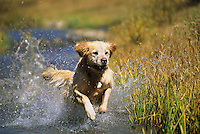 A dog splashes through a creek in Crested Butte, Colorado.