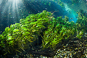 Pondweed (Potamogeton illinoensis) in a crystal clear spring in the state of Mato Grosso do Sul in Brazil.