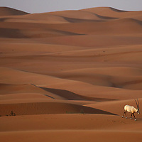 An Arabian oryx makes its way across the dunes at Dubai Desert Conservation Reserve outside of Dubai City in the United Arab Emirates. More than four decades ago, the animal was extinct in the wild, but today experts are citing the swell in its numbers as one of the world's biggest conservation success stories. In the early 1970s, the antelope was considered all but vanished due to hunting and poaching. There are now an estimated 1,220 wild oryx across the Arabian Peninsula, in addition to between 6,000 and 7,000 in semi-captivity.