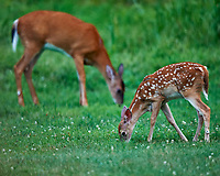 Young Fawn with Spots and Doe. Early Evening Natural Lawn Service that I don't have to pay for. I will not comment what they did to my wildflower patch. Image taken with a Nikon D3x camera and 600 mm f/4 VR lens (ISO 1600, 600 mm, f/4, 1/160 sec).