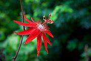 Passionflower, passiflora vitifolia, Enchanting Floral Gardens, Kula, Maui, Hawaii