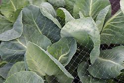 Cabbage under netting
