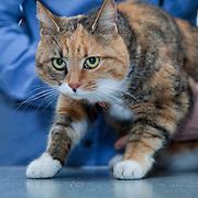 examination cat (Felis Catus) by veterinarian.