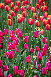 Tulipa 'Aphrodite' and 'Time Out' in the cutting garden
