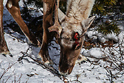 A Mongolian reindeer (Rangifer tarandus) shedding its one antler at end of winter, Khovsgol Province, Mongolia