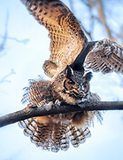 The great horned owl (Bubo virginianus) in Great Swamp Wildlife Refuge area, NJ.