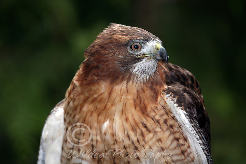 Red Tail Hawk surveying the hunting grounds.