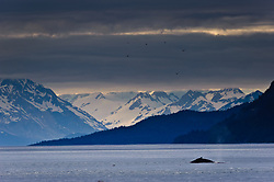 A humpback whale surfaces and dives in the Sitakaday Narrows of the main bay of Glacier Bay National Park and Preserve in this view seen from Young Island located in the Beardslee Islands of the park in southeast Alaska.