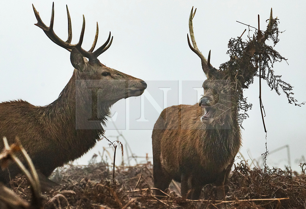 © Licensed to London News Pictures. 05/02/2020. London, UK. Two young bucks face each other during a foggy morning Bushy Park in south west London. Photo credit: Peter Macdiarmid/LNP
