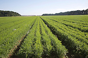 Carrot crop growing in field Shottisham, Suffolk, England