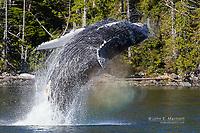 Humpback whale breaching near Bella Bella, British Columbia, Canada