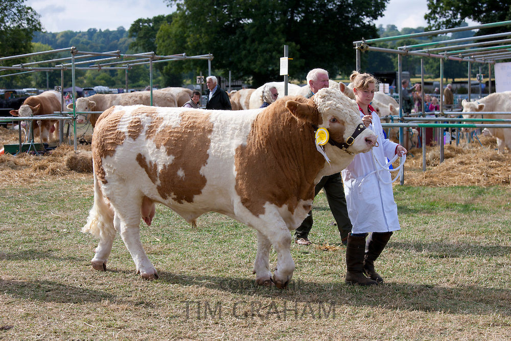 Champion British Simmental Bull with handler at Moreton Show, at Moreton-in-the-Marsh Showground, The Cotswolds, UK