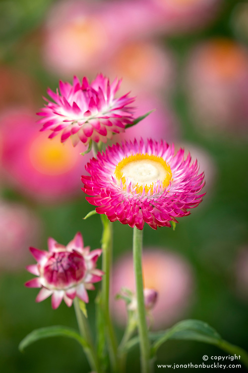 Helichrysum bracteatum 'Silvery Rose' - Strawflower, Paper Daisy, Everlasting Flower