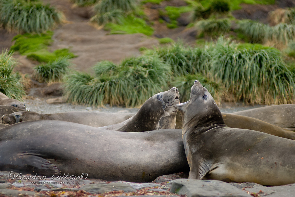 Young Elephant Seals engage in mock battle at Ocean Harbor, South Georgia, Antarctica.